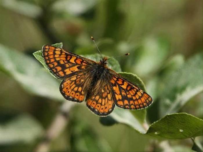 Marsh Fritillary (Glyn Sellors)