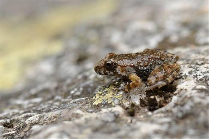 Corsican Painted Frog (David Morris)