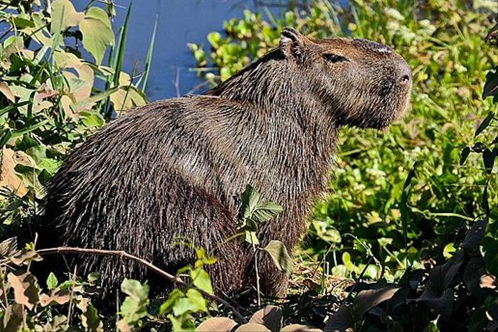 Male Capybara (Dani Free)