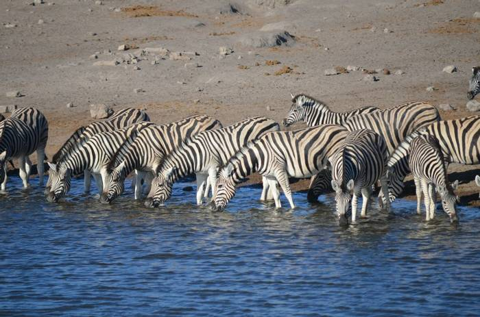 Zebras, Namibia (David Phillips)