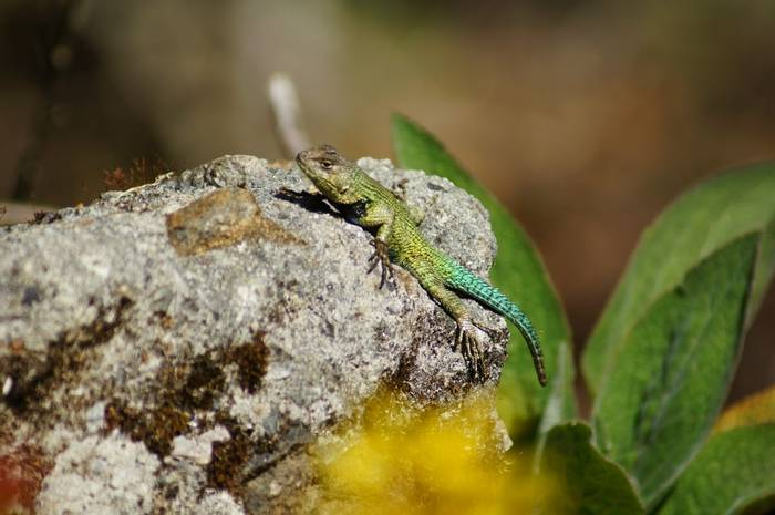 Green Spiny Lizard (Brian West)