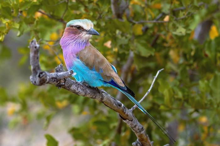 Lilac-breasted-Roller-shutterstock_1442156609.jpg