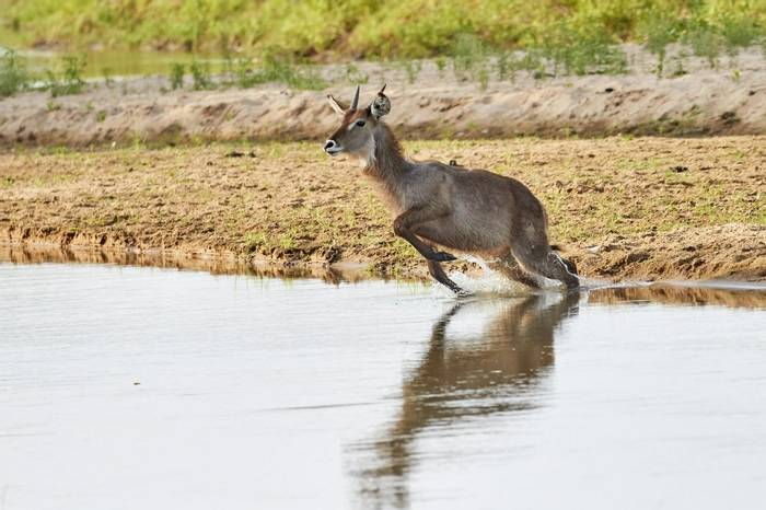 Waterbuck (Andrew Griffin)