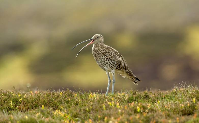 Curlew (Scientific name: Numenius arquata) Adult curlew in the Yorkshire Dales, UK during Springtime and the nesting season.…
