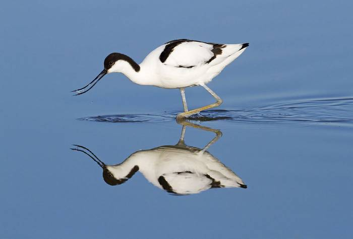 Pied Avocet by Kevin Elsby.jpg