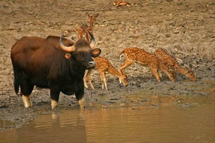 Gaur and Spotted Deer, Satpura (David Raju)