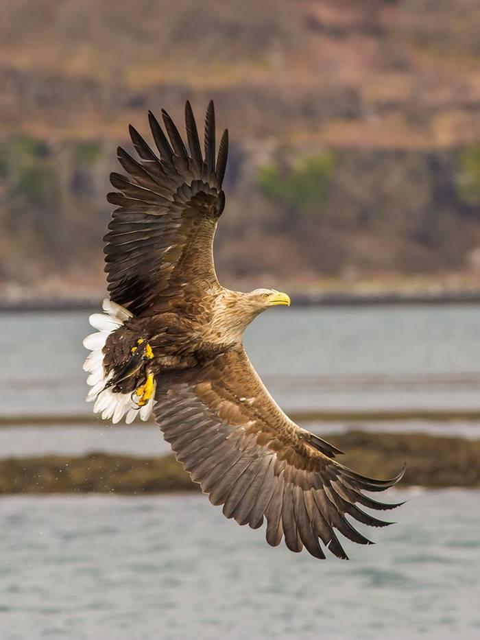 UK17 292 White Tailed Sea Eagle (Haliaeetus Albicilla), Loch Na Keal, Mull