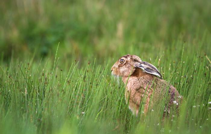 Brown Hare shutterstock_764051152.jpg