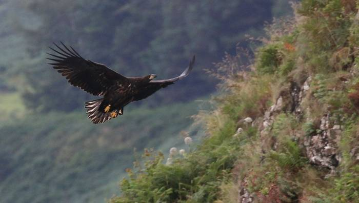 Juvenile White-tailed Sea Eagle (Martin Hancock)