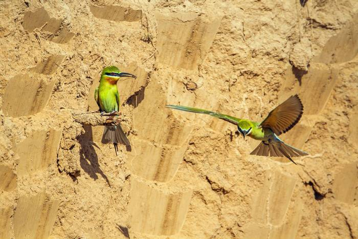 Blue-tailed Bee-eaters, Nepal shutterstock_464175443.jpg