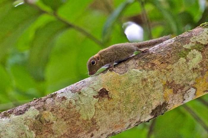 Pygmy Squirrel (Dani Free)
