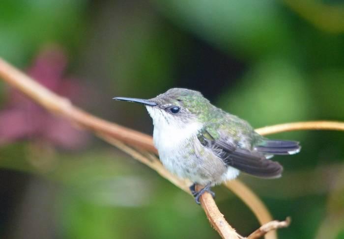 Vervain Hummingbird (Tom Mabbett 2016 tour)