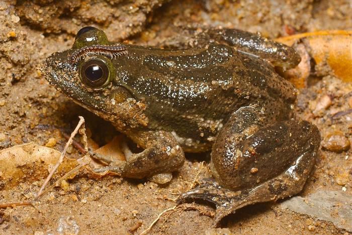 Common Skittering Frog (Euphlyctis cyanophlyctis)