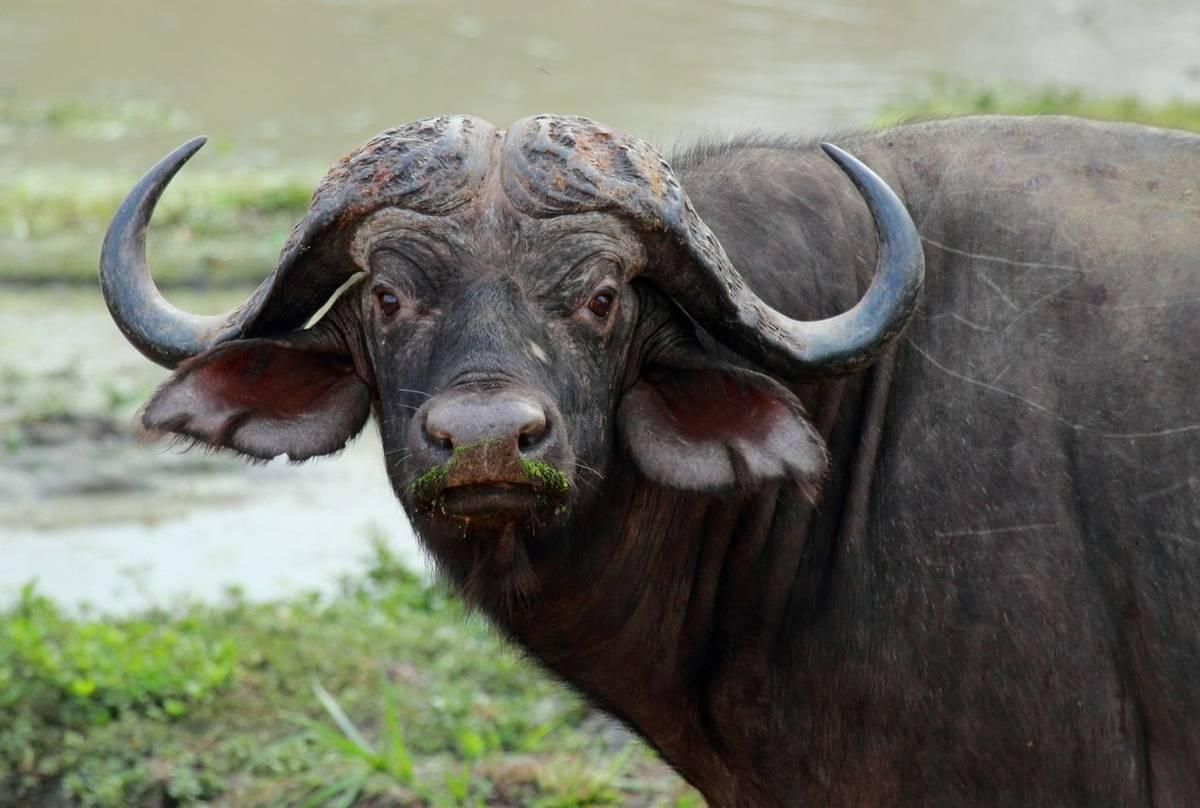 Buffalo (Nick Scarle)