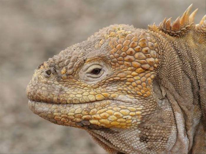 Land Iguana (John Willsher)