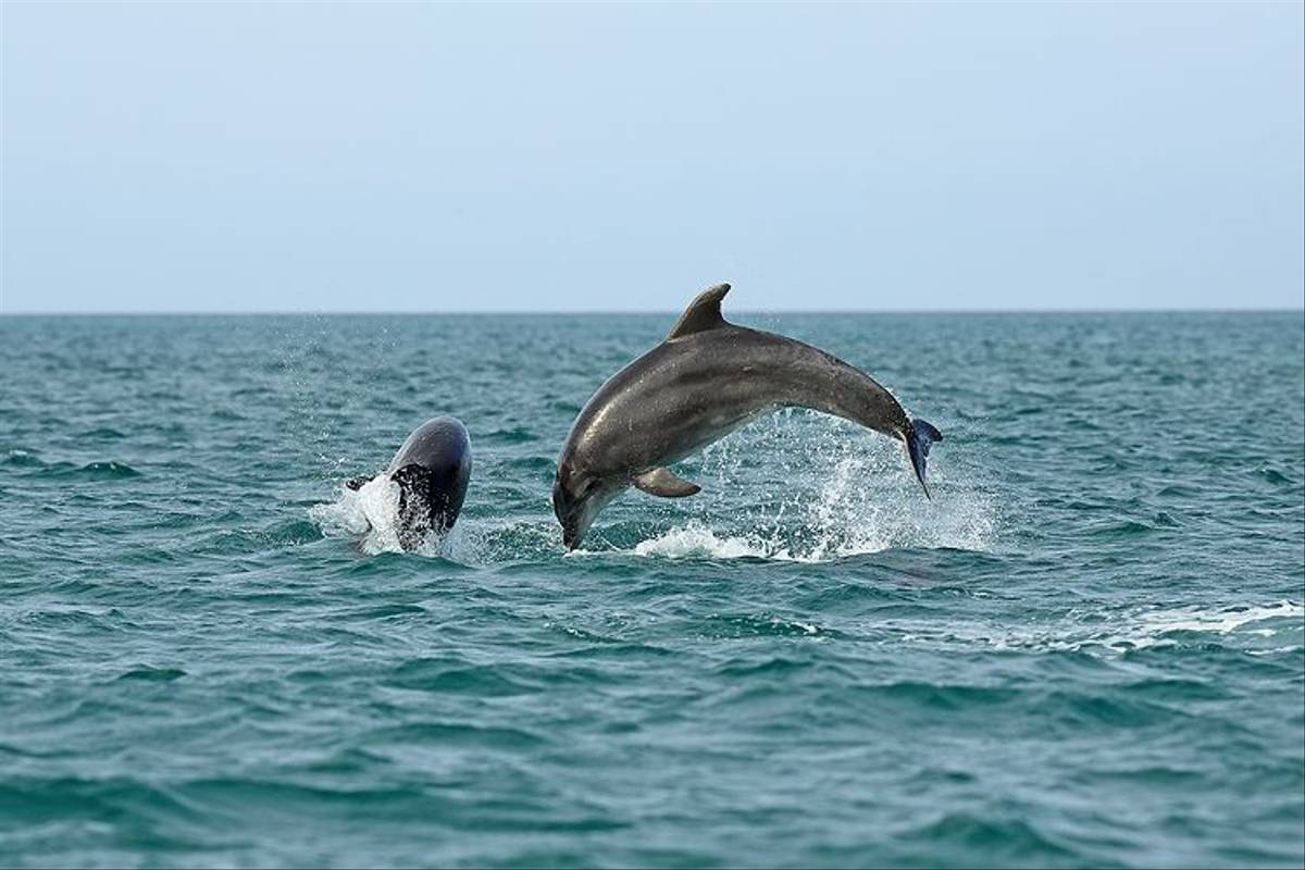 Bottlenose Dolphins (Bret Charman)