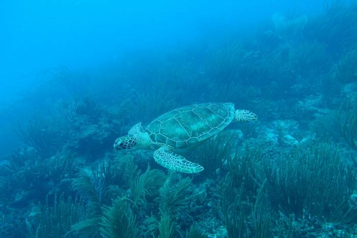 Green Sea Turtle, Puerto Rico shutterstock_636427316.jpg