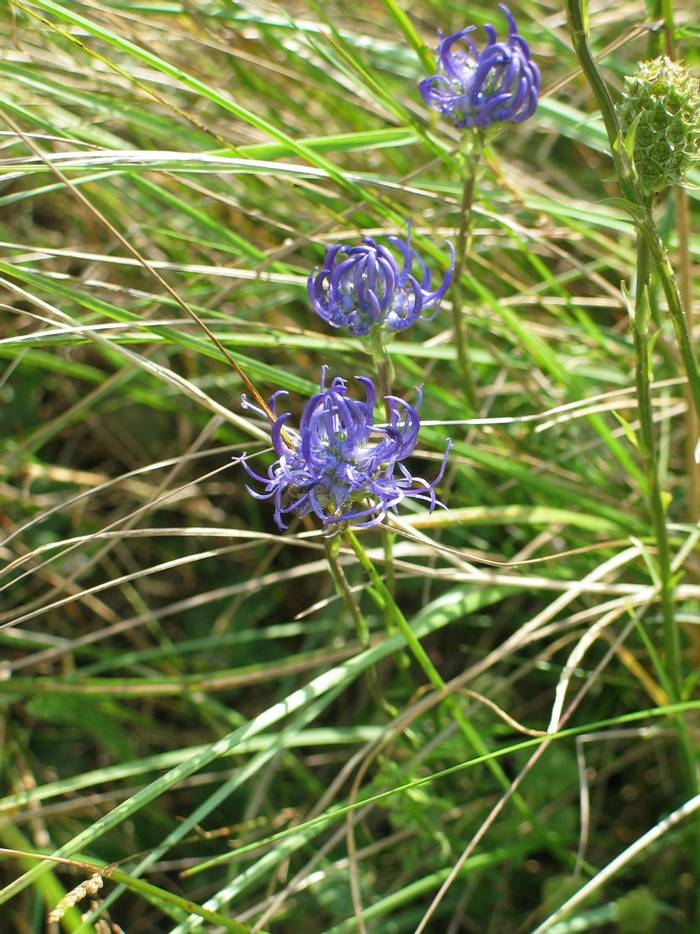 Phyteuma orbiculare - Round-headed Rampion.JPG