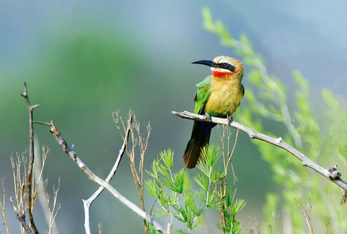 White Fronted Bee Eater Shutterstock 117919150