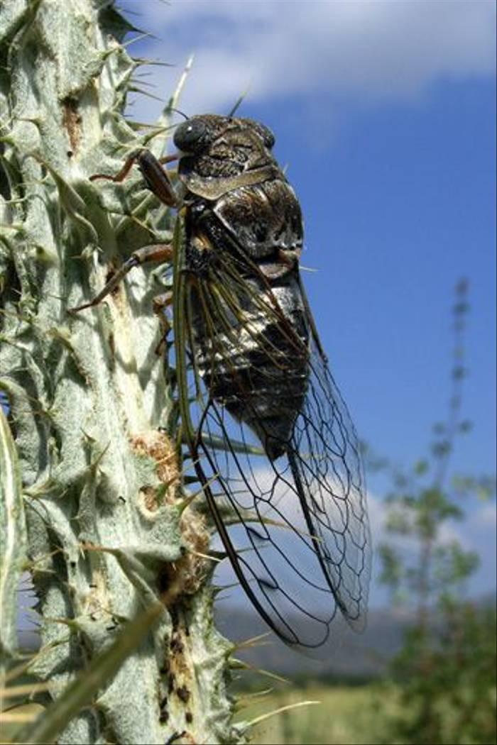 Cicada (Toby Abrehart)