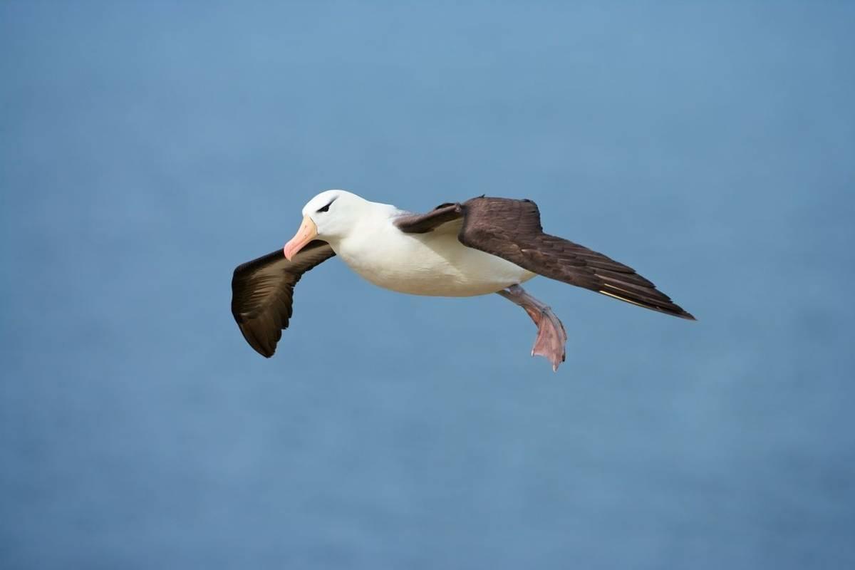 Black Browed Albatross, Falkland Islands Shutterstock 1017090709