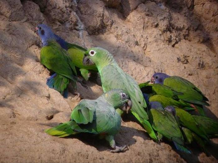 Mealy Amazon & Blue-headed Parrots (Lelis Navarette)