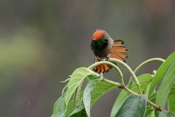Rufous-crested Coquette (Andrew Lapworth).jpg