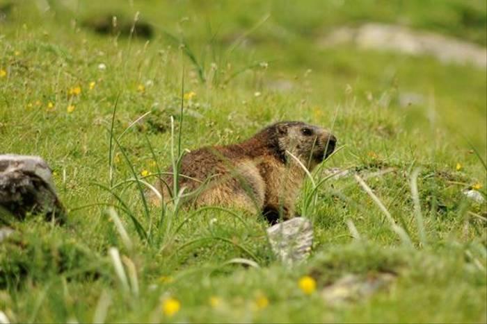 Marmot (David Morris)