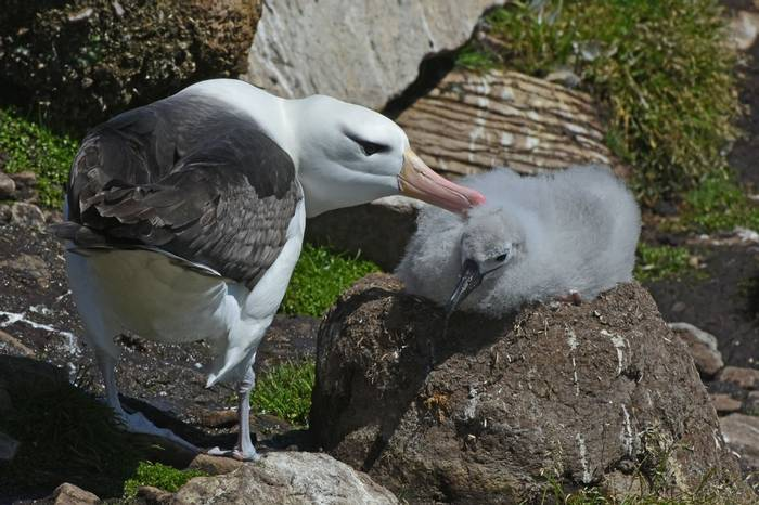 Black-browed Albatross and chick, Falklands, Saunders Island, 24 Jan 2016