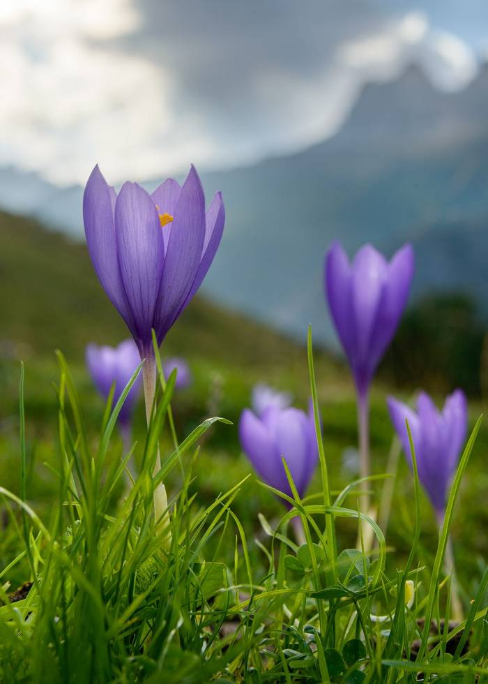 Crocus close up (Sergio Padura)