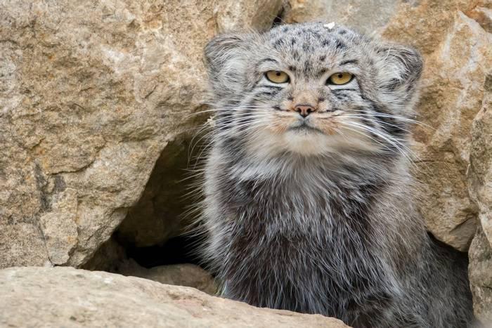 Pallas's Cat, Mongolia shutterstock_487426027.jpg
