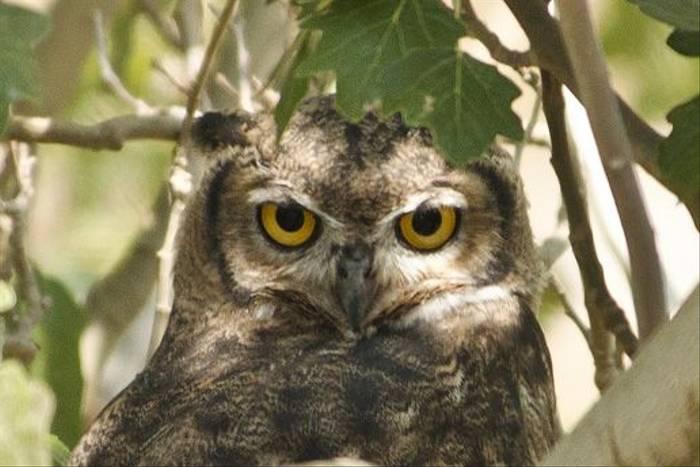 Megallanic Horned Owl (Ian Bruce)