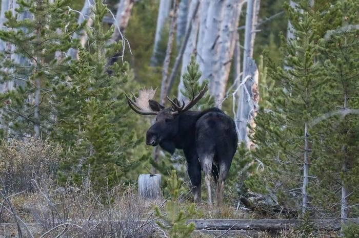 Moose Peter Dunn