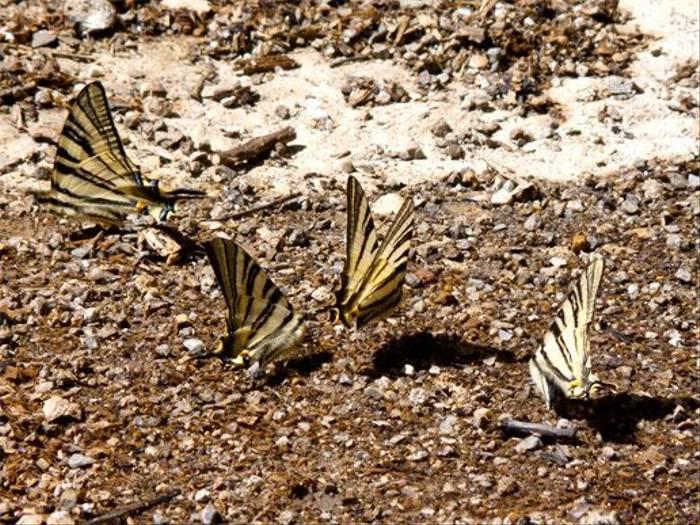 Scarce Swallowtail butterflies (John and Jenny Willsher)