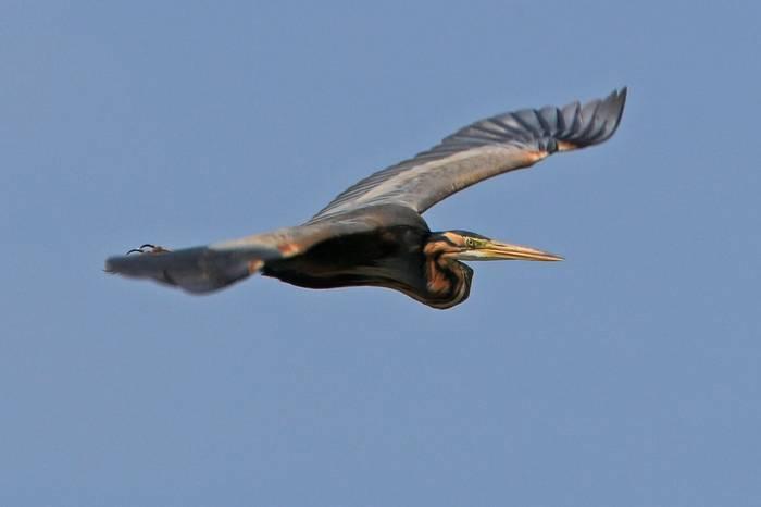 Purple Heron (R. Davidson)