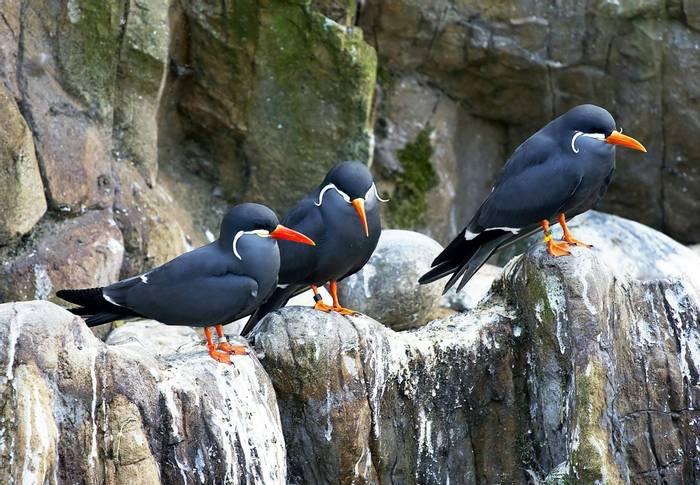 Inca Terns, Ballestas Islands, Peru shutterstock_94984360.jpg
