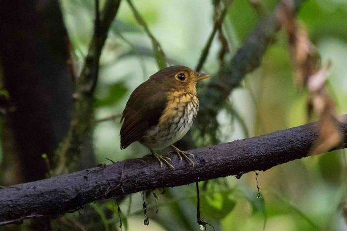 Ochre-breasted Antpitta (Chris Hutchinson)