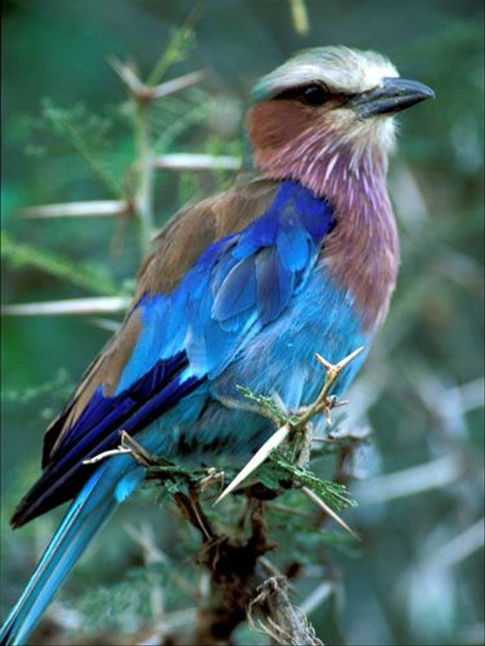 Lilac-breasted Roller (Julia Casson)
