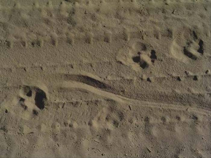 Lynx tracks (Peter Dunn)