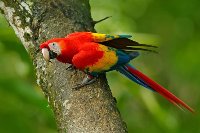 Scarlet Macaw Shutterstock 669044710