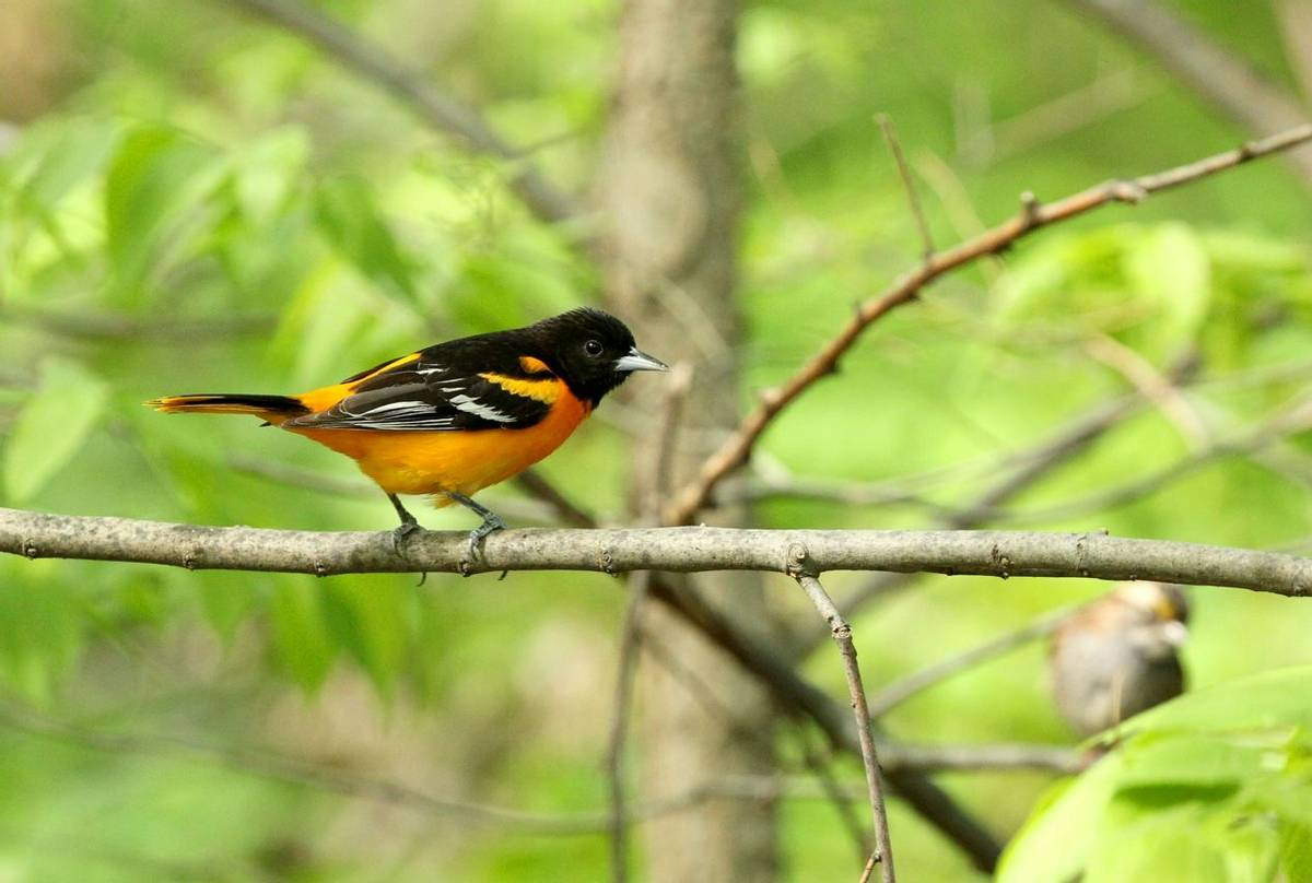 Baltimore Oriole (James Lees)
