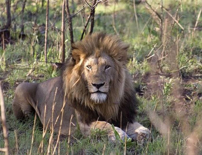 Male Lion (Leon Marais)