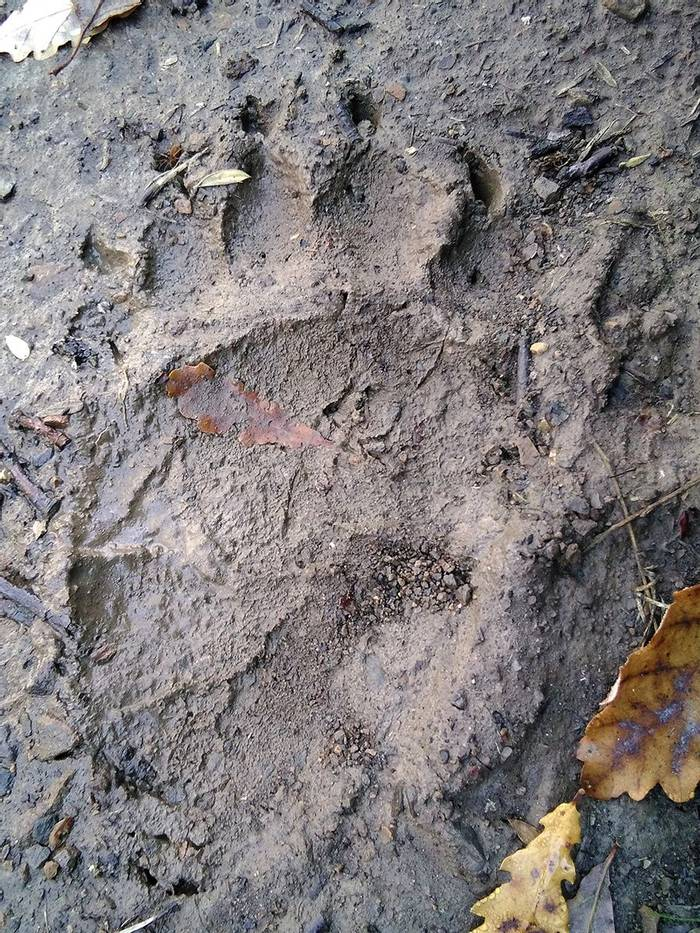 Brown Bear footprint_Javi Elorriaga_7November_Palencia_IMG_20171107_114644.jpg