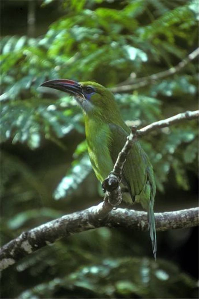 Groove-billed Toucanet (Andy Swash)