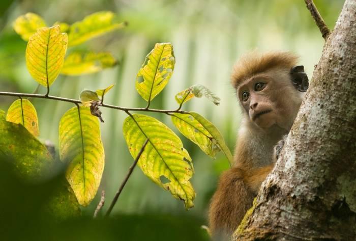 Toque Macaque, Sinharaja Rainforest, Sri Lanka shutterstock_1309041994.jpg