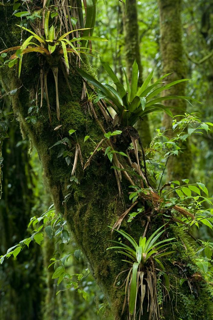 Bromeliads in the forest of Panama