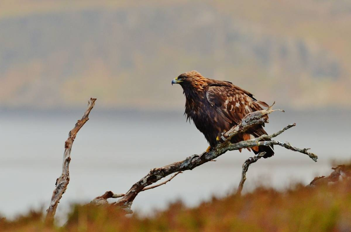 Golden Eagle Shutterstock 379247002