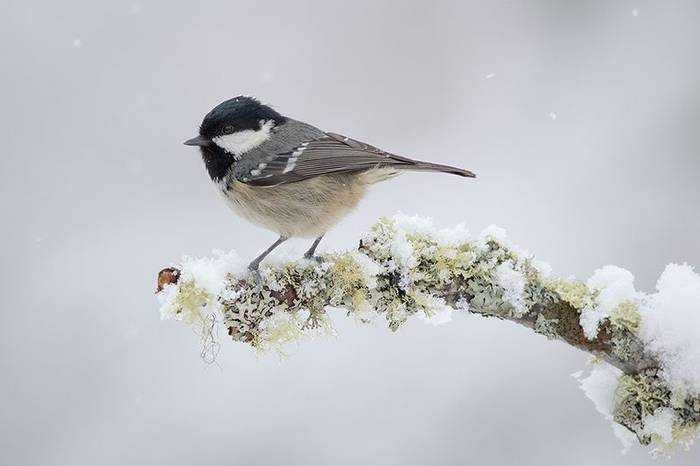 Coal Tit (Robert Harvey)