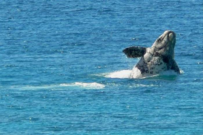 Southern Right Whale calf breaching at Cheynes Beach (Peter Taylor)