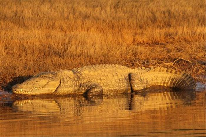 Marsh Mugger Crocodile, Satpura (David Raju)